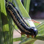 army worms are usually active after a prolonged wet period