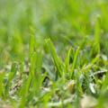 Lawn Varieties