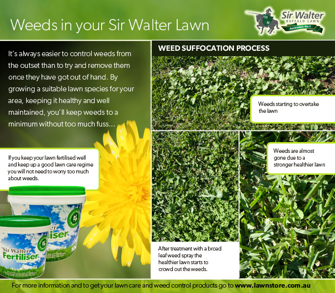 Weed suffocation process sir walter lawn